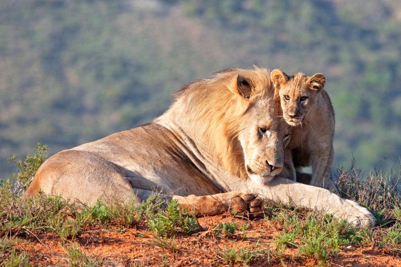 Leeuwen in Afrika - AllinMam.com