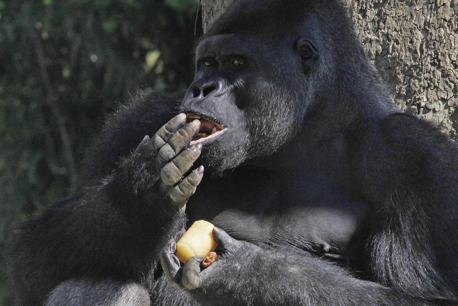 Gorilla eating in Pairi Daiza - AllinMam.com