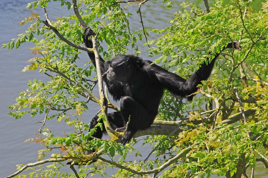 Gibbon in boom in Pairi Daiza - AllinMam.com