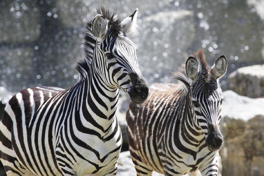 zebras op de afrikaanse savanne in Pairi Daiza - AllinMam.com