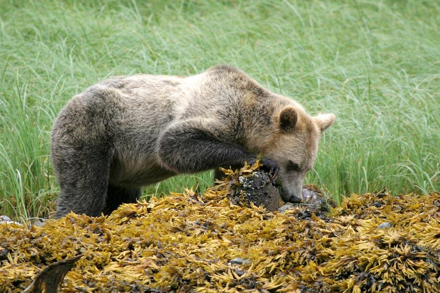 Beste plek voor grizzly's spotten in Canada - AllinMam.com