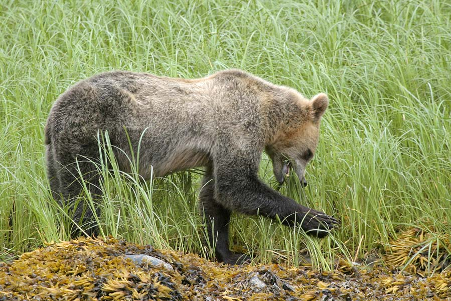 grizzly's spotten in knight inlet met tiderip - AllinMam.com
