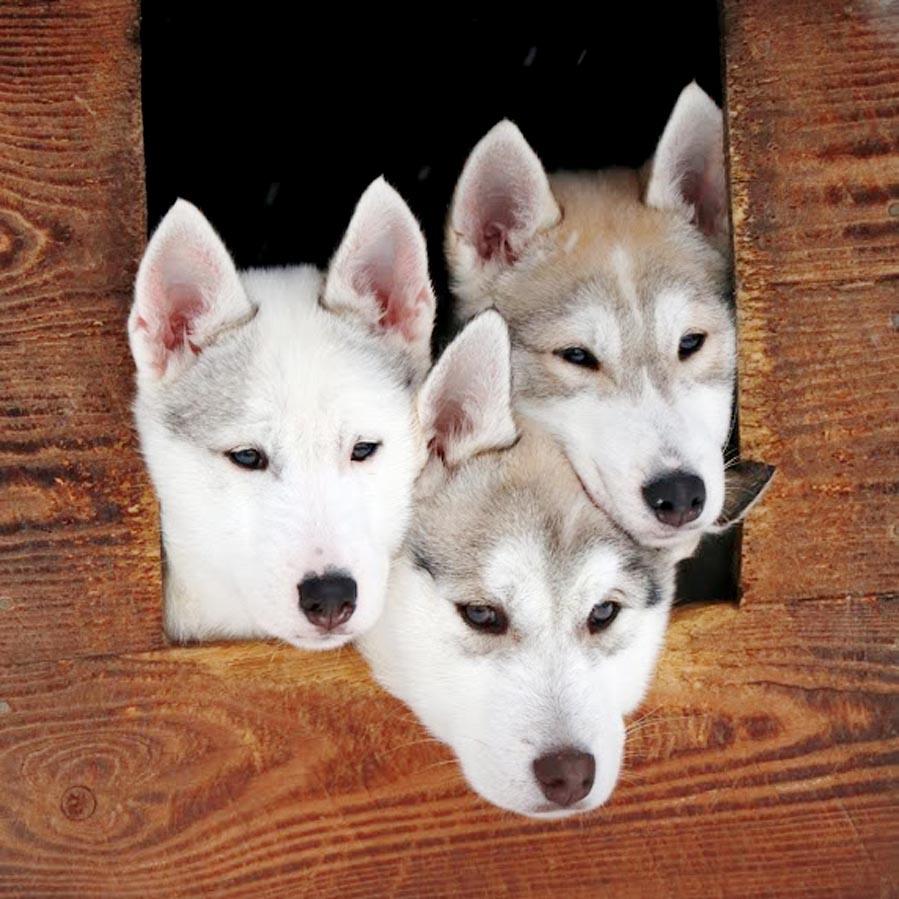 husky puppies, Finland - AllinMam.com