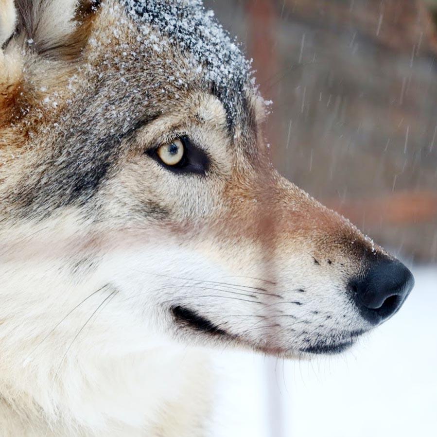 Movie wolf uit Midnight Sun - AllinMam.com
