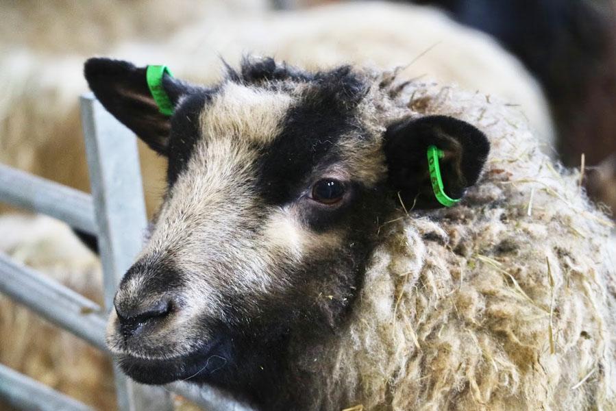 schapen farm in Finland - AllinMam.com