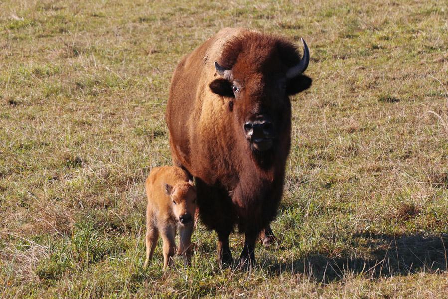 Le Ranch des Bisons: slapen tussen de bisons - AllinMam.com