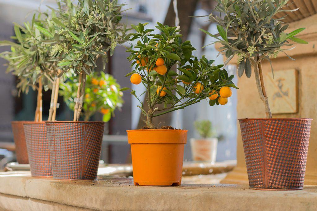 Vier leuke fruitbomen voor binnen - AllinMam.com
